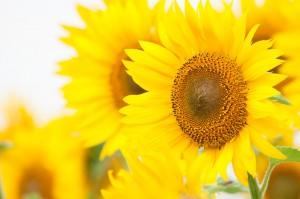 大輪の向日葵