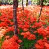 彼岸花の花言葉の意味が怖い!赤や白や黄色の意味は?開花の時期は?