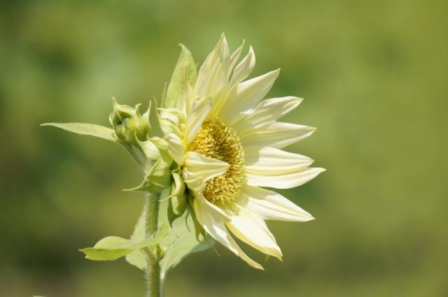 白 向日葵