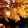 2017年 メタセコイア並木の紅葉の見頃や時期は?cmで有名!