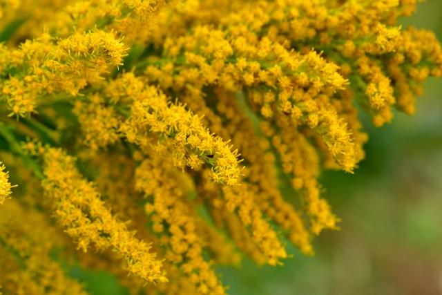 ブタクサの花粉症の時期や症状は?注意点と対策はどうする?